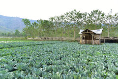 Fresh green cabbage Stock Images