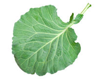 Fresh green cabbage leaf Royalty Free Stock Images