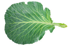 Fresh green cabbage leaf Royalty Free Stock Image