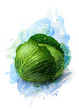 Fresh green cabbage vegetable sketch. Just fresh green cabbage sketch Stock Image