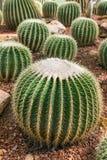 Fresh green cactus with needles Royalty Free Stock Photo