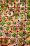 Green cactus tree in garden Stock Photography