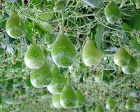 Fresh Green Calabash Gourds Royalty Free Stock Photos