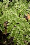 Fresh green caryota mitis plant Stock Photo