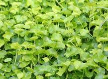 Fresh green Centella asiatica plants Stock Photo