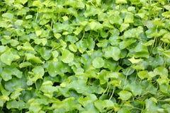 Fresh green Centella asiatica plants Royalty Free Stock Photos