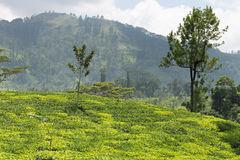 Fresh green Ceylon tea plantation field at mountains royalty free stock photo