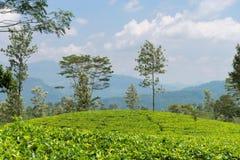 Fresh green Ceylon tea plantation field at mountains Royalty Free Stock Photography