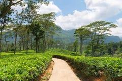 Fresh green Ceylon tea plantation field at mountains Royalty Free Stock Photos