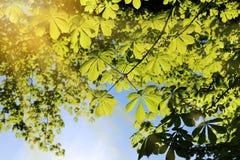 Fresh green, chestnut leaves in spring. Fresh green in the spring of healthy chestnut trees in the back light royalty free stock image