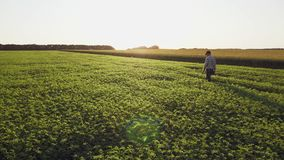 Fresh green chickpeas field. Farmer walking