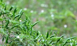 Fresh green chili Stock Images