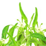 Fresh green chili pepper on pure white background Stock Photo
