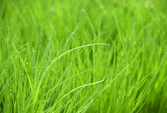 Fresh Green Chives Plants Growing at the Garden Royalty Free Stock Photo
