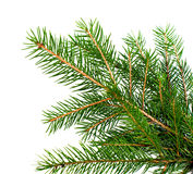 Fresh green Christmas tree branch Stock Images