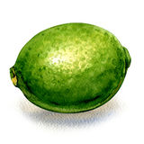 Fresh green citrus lime, whole fruit isolated, watercolor illustration on white Stock Photos