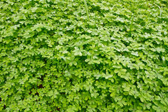 Fresh green clover. Carpet of fresh green clover in spring Stock Photos