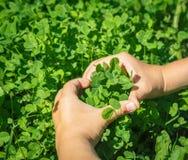 Fresh green clover Stock Photos