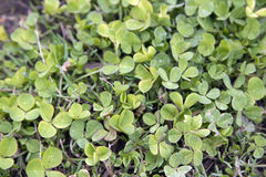Fresh green clover on the meadow Stock Photo