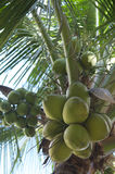 Fresh Green Coconut Palm Tree Close-Up Stock Photo