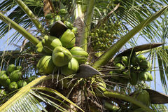 Fresh Green Coconut Palm Tree Close-Up Stock Photos