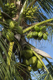 Fresh Green Coconut Palm Tree Close-Up Royalty Free Stock Photography