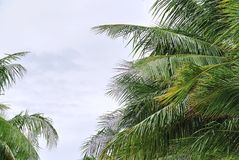 Fresh Green Coconut Tree Leaves Against Cloudy Sky Stock Photo
