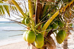Fresh Green Coconuts in a Palm Tree on the Beach Stock Images
