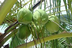 Fresh green coconuts on a palm tree branch. Fresh green coconuts, on a palm tree branch Stock Photography