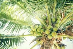 Fresh green coconuts on a palm tree in sun lights. Thailand Royalty Free Stock Images