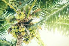 Fresh green coconuts on a palm tree in sun lights. Thailand Stock Photos