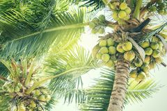 Fresh green coconuts on a palm tree in sun lights. Thailand Royalty Free Stock Photography
