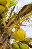Fresh green coconuts on the tree Stock Photo