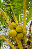 Fresh green coconuts on the tree Royalty Free Stock Image