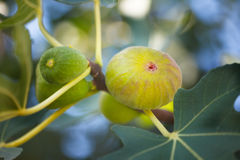 Fresh green Common figs on the branch Stock Photo