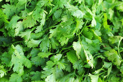 Fresh green coriander on the market. Stock Photos