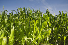 Fresh green corn crops Royalty Free Stock Photos
