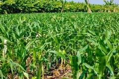 Fresh green Green Corn Field , indian farm , stock image