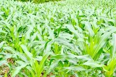 Fresh green corn Royalty Free Stock Photography