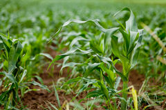 Fresh green corn in summer on field agriculture vegetable Royalty Free Stock Photography