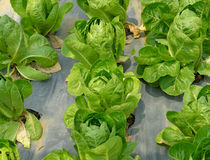 Fresh green cos lettuce in a  field Stock Image