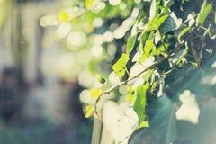 Fresh green creeper in a spring garden Stock Photos
