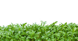 Fresh green cress Stock Images
