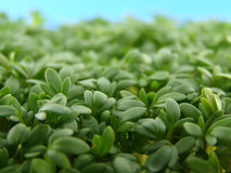 Fresh green cress. Close-up of fresh green delicate cress petals Stock Image