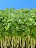 Fresh green cress. Close-up of fresh green delicate cress petals Royalty Free Stock Image