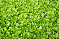 Fresh green cress Stock Photo