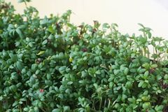 Fresh green cress leaves. Macro Royalty Free Stock Images