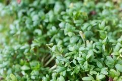Fresh green cress leaves. Macro Stock Photo