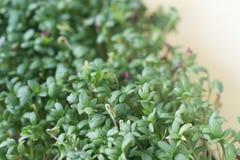 Fresh green cress leaves. Macro Royalty Free Stock Photography