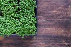 Fresh  green cress salad. Fresh organic green cress salad Stock Image